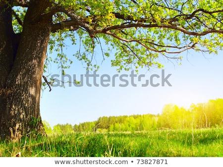 Eiche Bäume grünen Wiese Frühling Tag Stock foto © Fesus