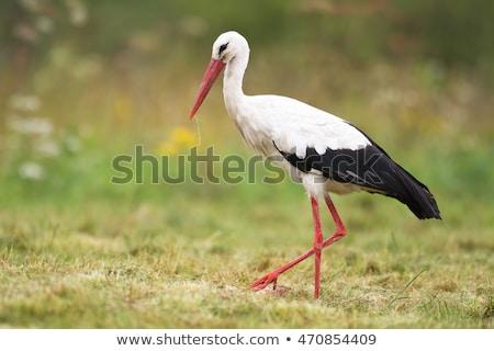 Portrait of a white stork Stock photo © digoarpi