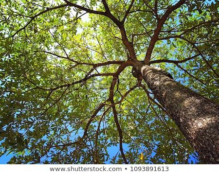 carvalho · pôr · do · sol · céu · árvore · nuvens · nascer · do · sol - foto stock © olandsfokus