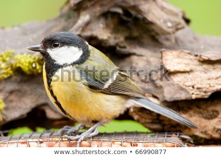 european great tit with feeder and textured log background stock photo © rekemp