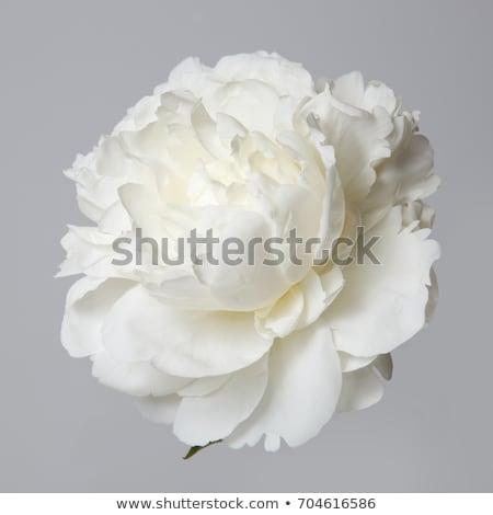 белый старые цветы закрывается лет Сток-фото © saharosa
