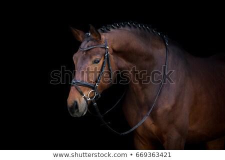 Bay stallion portrait isolated on black.  Stock photo © Ray_of_Light