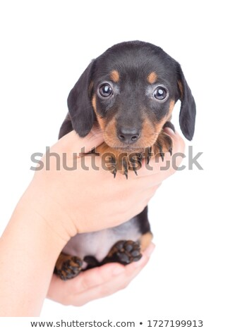 Stock photo:  Nice Shorthair Dachshund sitting in the white studio