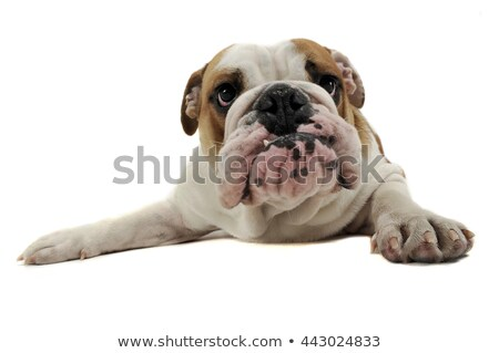 funny english bulldog enjoy the photo studio stock photo © vauvau