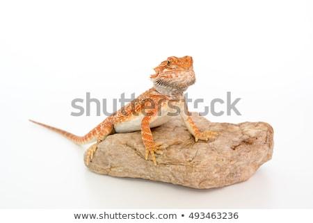 barbudo · dragão · exibir · animal · de · estimação · ninguém · horizontal - foto stock © simoneeman