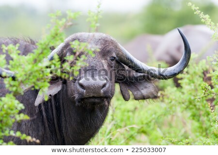 starring buffalo in the kruger national park south africa stock photo © simoneeman