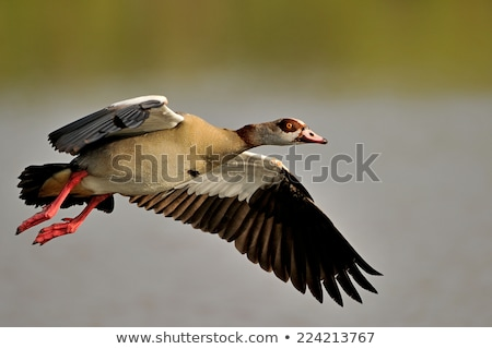 Egyptian goose in flight Stock photo © EcoPic
