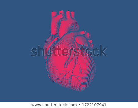 human heart anatomy on a bright red background stock photo © tefi