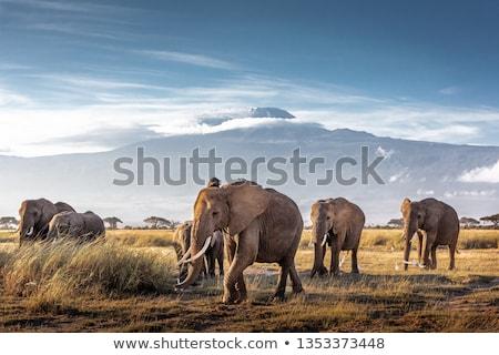 Elephants in front of Kilimanjaro, Amboseli, Kenya Stock photo © kasto