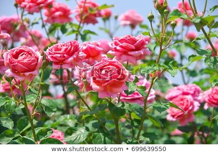 Steeg tuin rozen groeiend formeel Stockfoto © StephanieFrey