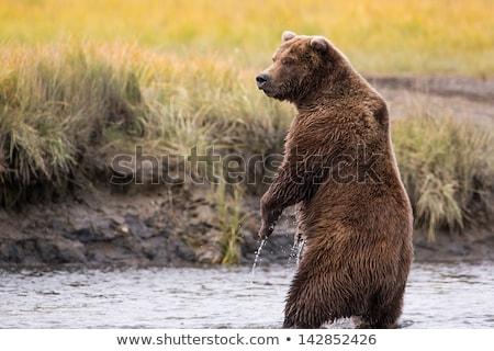 cartoon · ilustracja · grizzly · bear · cute · brązowy · szczęśliwy - zdjęcia stock © colematt