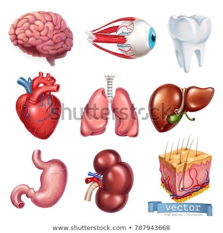 Ingesteld menselijke harten lever hart bloed Stockfoto © frescomovie