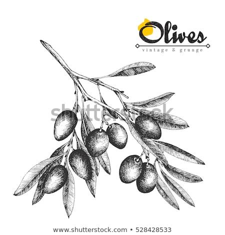 Farbe Landwirtschaft Olivenbaum Zweig Jahrgang Vektor Stock foto © pikepicture