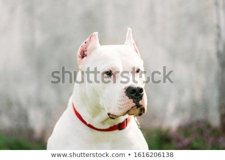 Portrait of an adorable Dogo Argentino Stock photo © vauvau