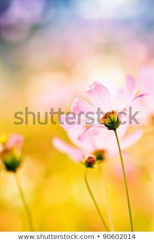 Abstrato roxo margarida flores primavera Foto stock © tish1
