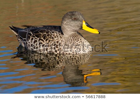 Yellow-billed duck Stock photo © Anna_Om