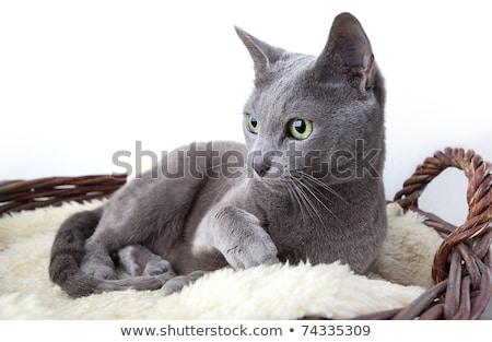 ロシア 青 バスケット 猫 ストックフォト © nailiaschwarz