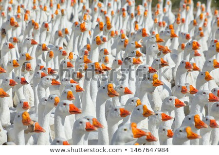 geese and ducks stock photo © fanfo