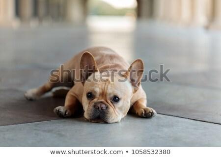 Barna bőr kutyakölyök fekszik aranyos férfi fektet Stock fotó © dnsphotography