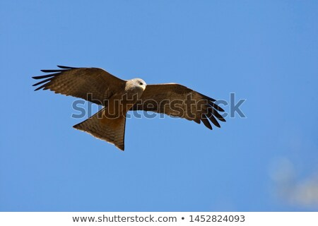 Yellow-billed Kite (Milvus aegyptius) Stock photo © dirkr