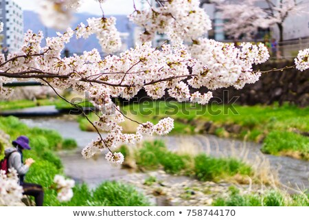 branches with white flowers of cherry with blue sky background stock photo © mycola