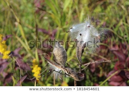 自然 シード 極端な クローズアップ 種子 絞首刑 ストックフォト © nialat