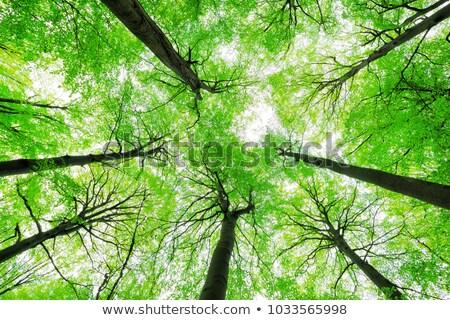 Green beech tree canopy Stock photo © elxeneize
