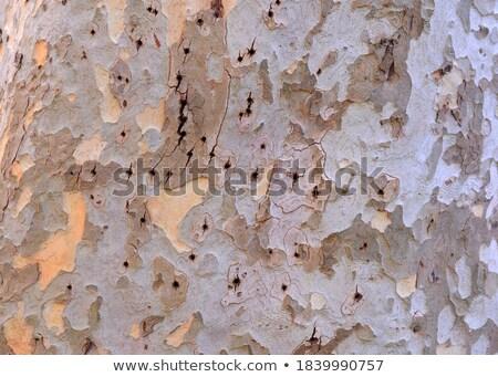 Vliegtuig schors patroon boom abstract natuur Stockfoto © meinzahn
