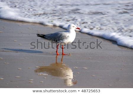 Silver Gull (Larus novaehollandiae) Stock photo © dirkr
