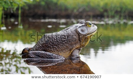 American Bullfrog in the grass Stock photo © njnightsky