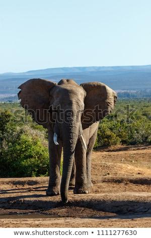 elefánt · iszik · park · Dél-Afrika · háttér · utazás - stock fotó © simoneeman