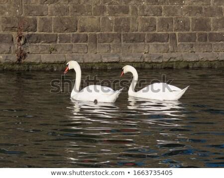 Swan fiume bianco maschio sole natura Foto d'archivio © meinzahn