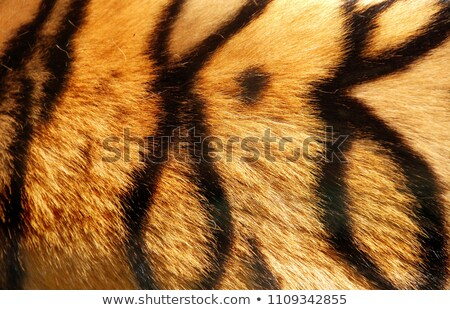 Starring Leopard from behind. stock photo © simoneeman