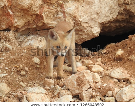 Curious red fox in its natural habitat. Stock photo © olira