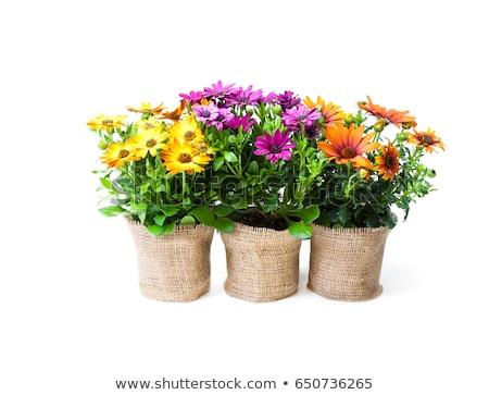 Stockfoto: Lentebloemen · geïsoleerd · witte · steeg · natuur · hart