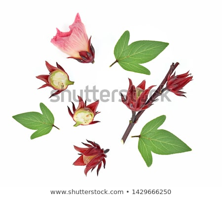 hibisco · frutas · flor · folhas · chá · planta - foto stock © witthaya