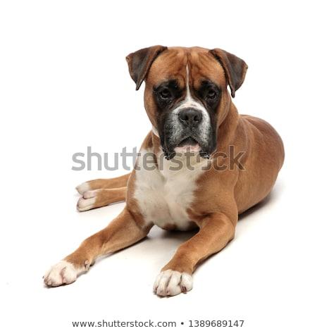 眠い ボクサー 犬 肖像 子犬 ストックフォト © taviphoto