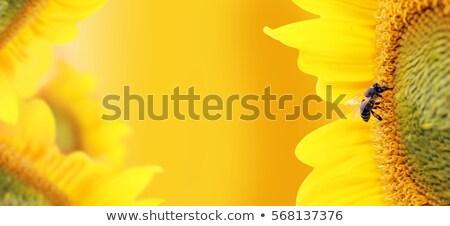 Abelha belo orgânico girassol caranguejo Foto stock © Kuzeytac