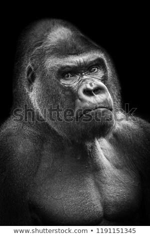 Gorilla alacsony kulcs nagy közelkép beton Stock fotó © chris2766