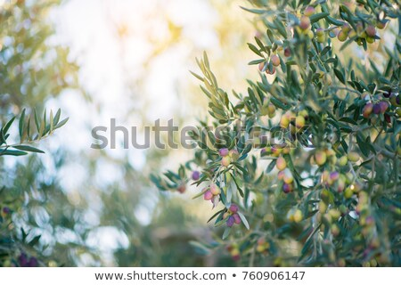 branch details with olives growing Stock photo © lunamarina