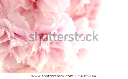 pink drooping cherry blossoms stock photo © varts