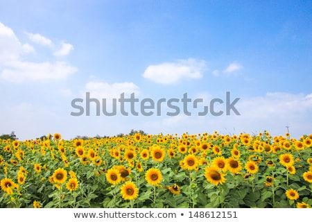 zonnebloem · groene · weide · blauwe · hemel · hemel · gras - stockfoto © artjazz