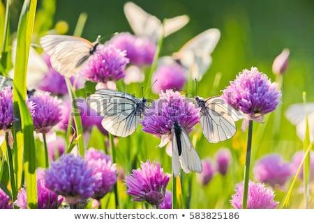 капуста · бабочка · завода - Сток-фото © rhamm