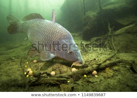 Balık sazan beyaz yalıtılmış gıda doğa Stok fotoğraf © OleksandrO