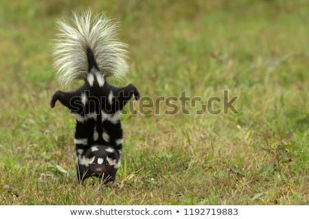 Ilustracja skunks charakter funny czarno-białe ogrodzenia Zdjęcia stock © adrenalina