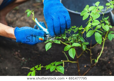Blue garden secateurs on cutting leaves Stock photo © nalinratphi