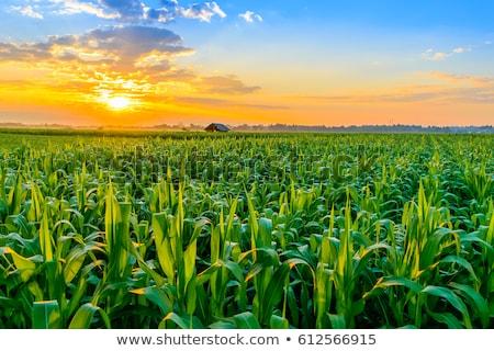 Kukorica mező reggel sorok fiatal tájkép Stock fotó © Kotenko