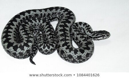 closeup of vipera berus over white stock photo © taviphoto