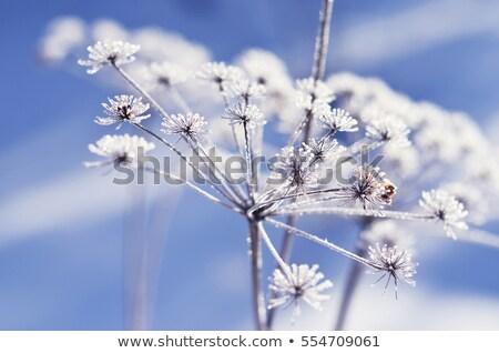 цветок · покрытый · снега · весенний · цветок · природы · саду - Сток-фото © offscreen