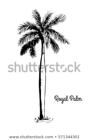 Królewski palmy Kuba zielone biały chmury Zdjęcia stock © Klinker